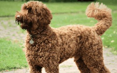Labradoodle f3: Een geweldige hond voor het gezin