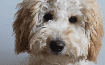 Labradoodle of goldendoodle: Kleine verschillen, beide leuk