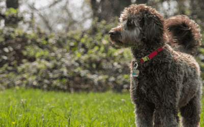 De labradoodle medium: De perfecte medium gezinshond