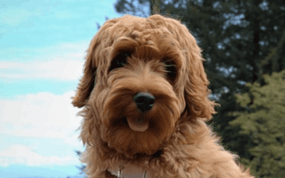 Labradoodle trimmen: Een trimsalon of zelf?